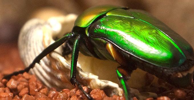 scarabee